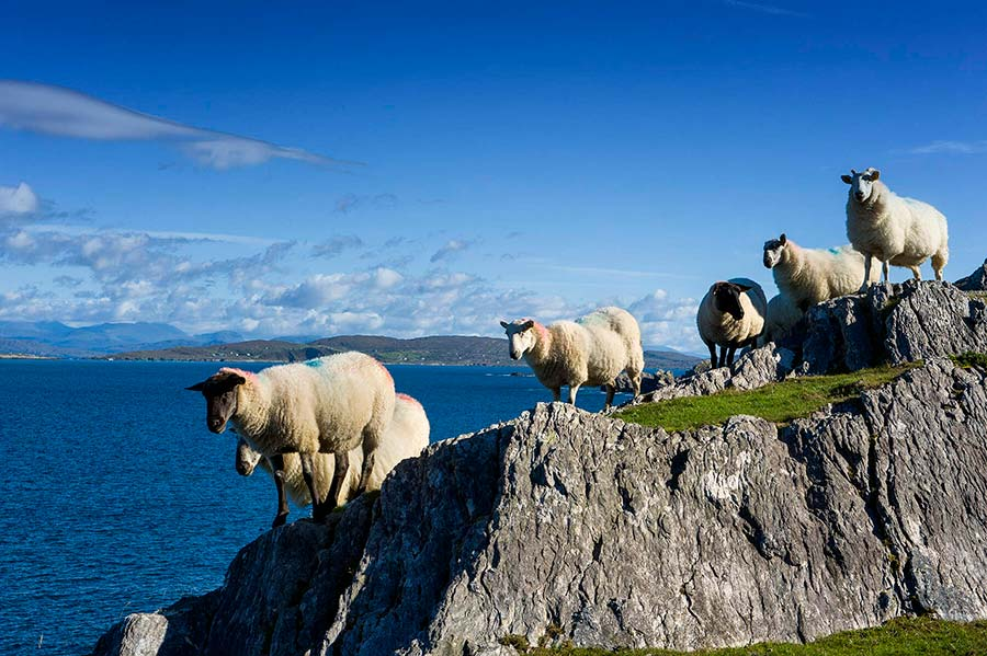 Sheep at Coulagh Bay Beara Peninsula
